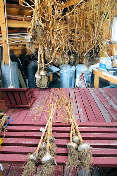Storing Garlic 1