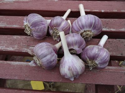Storing Garlic Russian Red