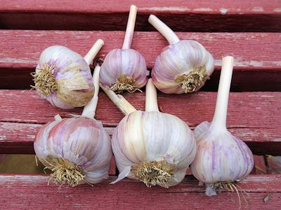 Storing Garlic Spanish Roja