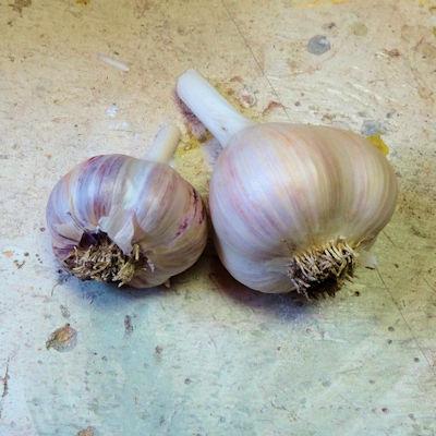 Garlic Harvest IN